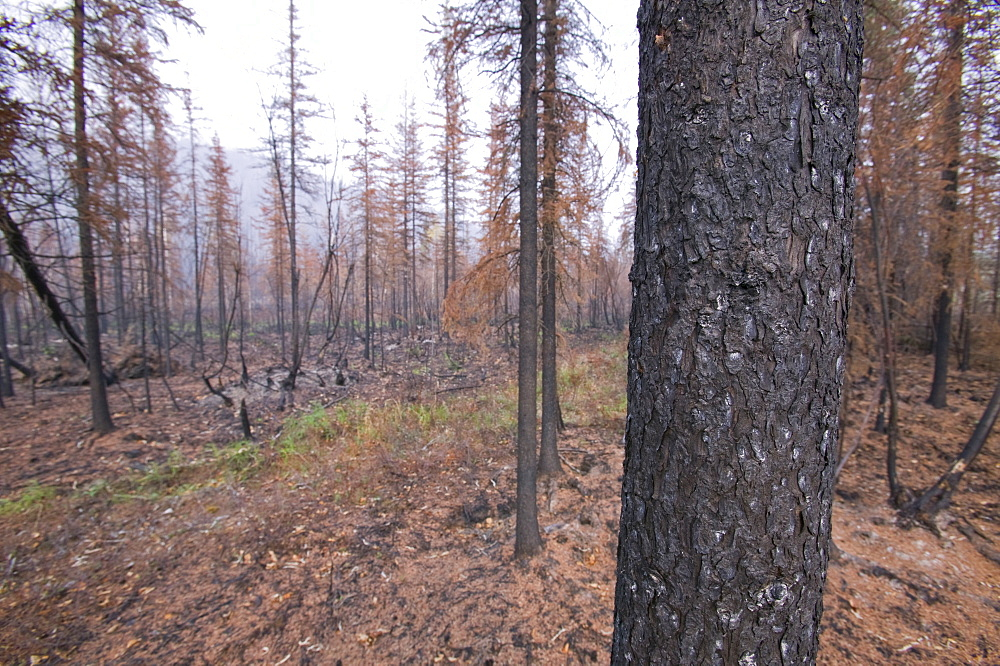 Smoke hangs over burnt out forest after unprecedented fires in 2004, near Fairbanks, Alaska, United States of America, North America