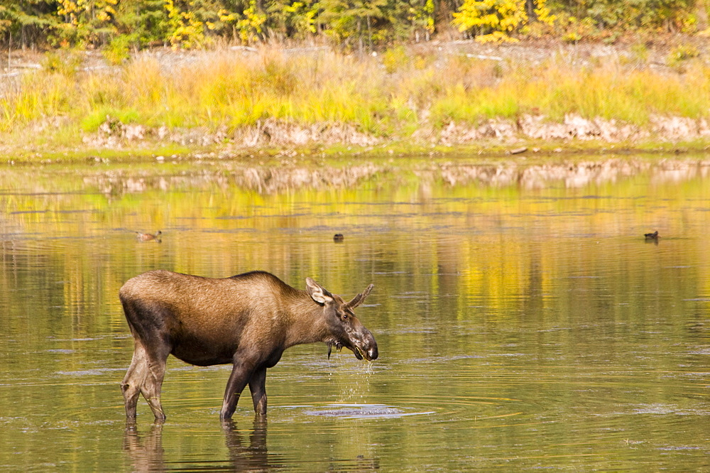 A Moose feeding in a swamp near Fairbanks, Alaska, United States of America, North America