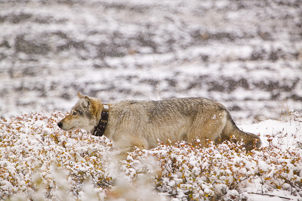 A grey wolf radio collared as part of a tracking program on the tundra in autumn in Denali National Park, Alaska, United States of America, North America