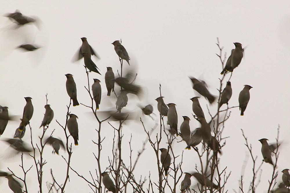 Waxwings feeding on a tree in Carlisle, Cumbria, England, United Kingdom, Europe