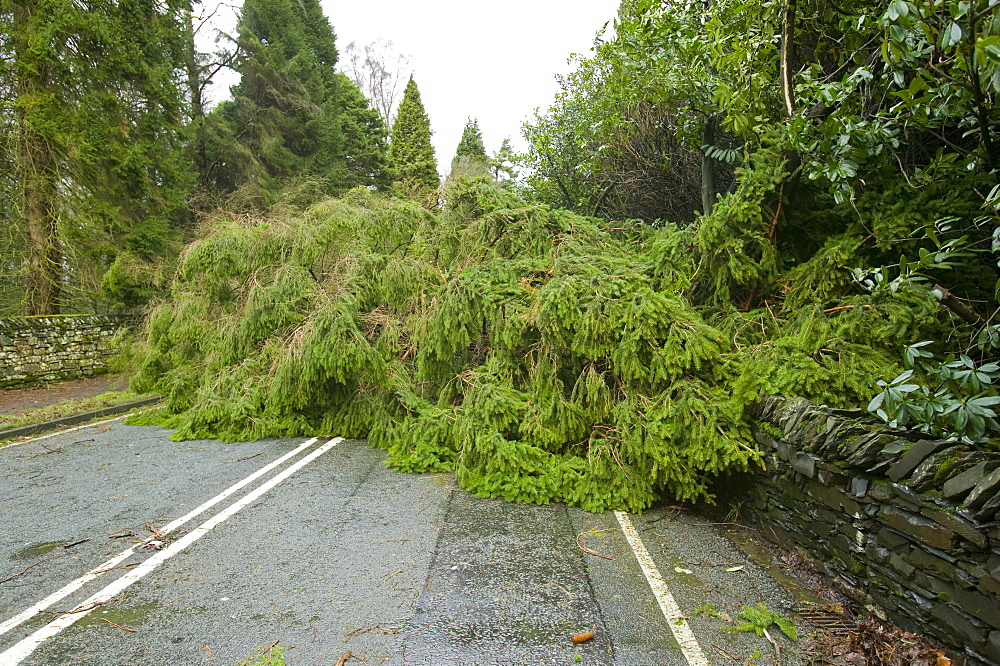 A fallen tree blocks a road in January 2005 after a severe storm, Cumbria, England, United Kingdom, Europe