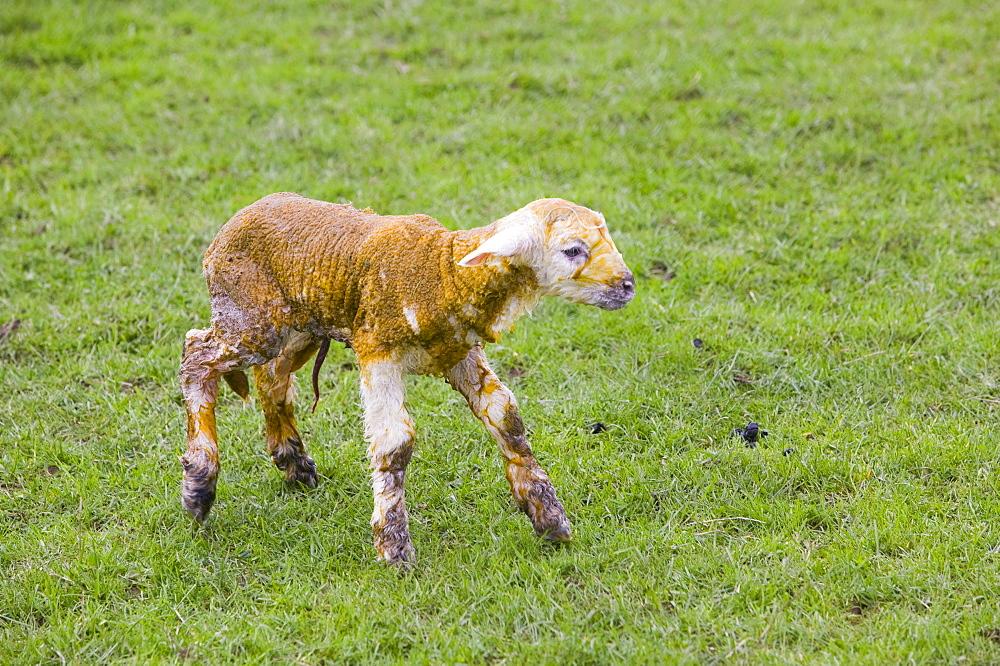 A new born lamb, Yorkshire Dales National Park, Yorkshire, England, United Kingdom, Europe