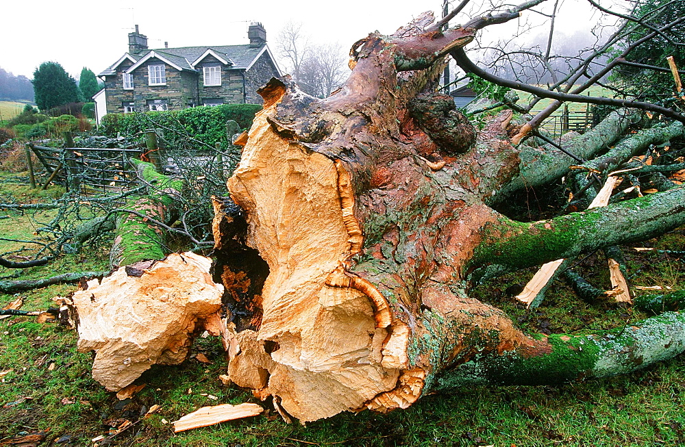 A sycamore tree snapped by gale force winds near Ambleside, Cumbria, England, United Kingdom, Europe