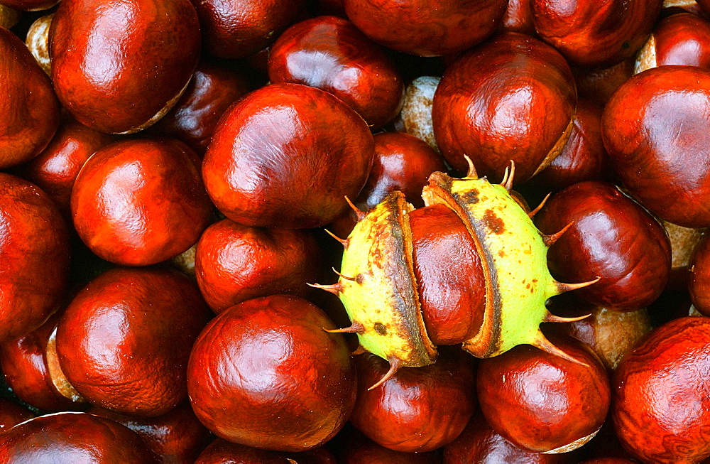 Conkers (horse chestnuts) in autumn