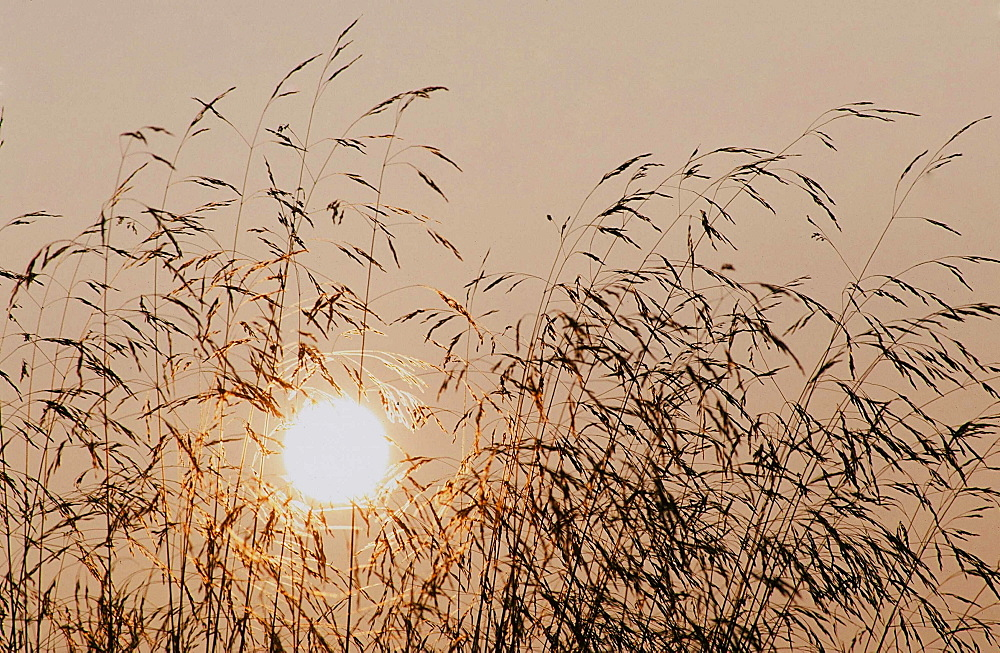 Grass seed heads at sunset, United Kingdom, Europe
