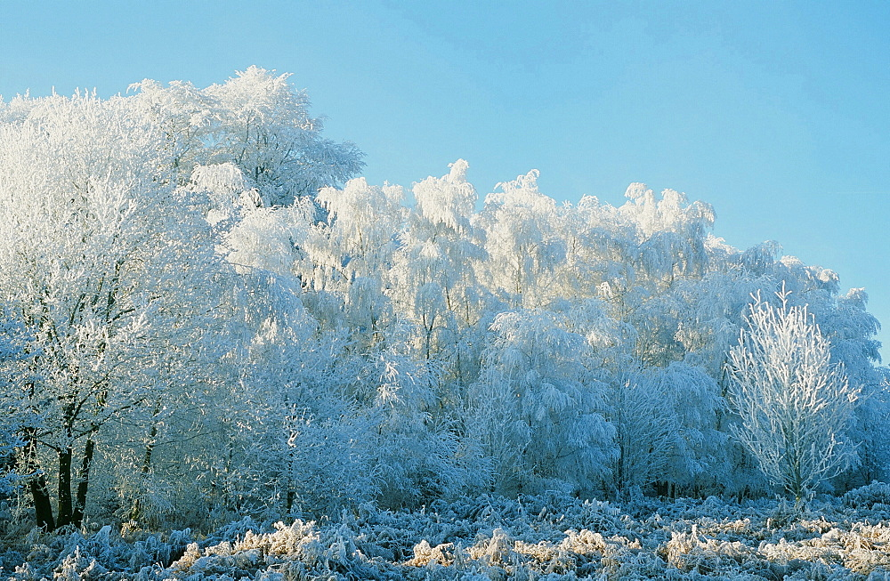 Hoar frost on trees on the Beacon near Loughborough, Leicestershire, England, United Kingdom, Europe