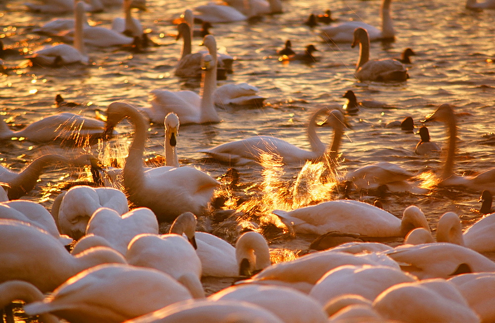 Whooper Swans and ducks being fed at Martin Mere in Lancashire, England, United Kingdom, Europe
