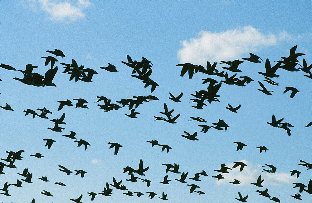 Brent geese flying over their Norfolk wintering grounds, Norfolk, England, United Kingdom, Europe