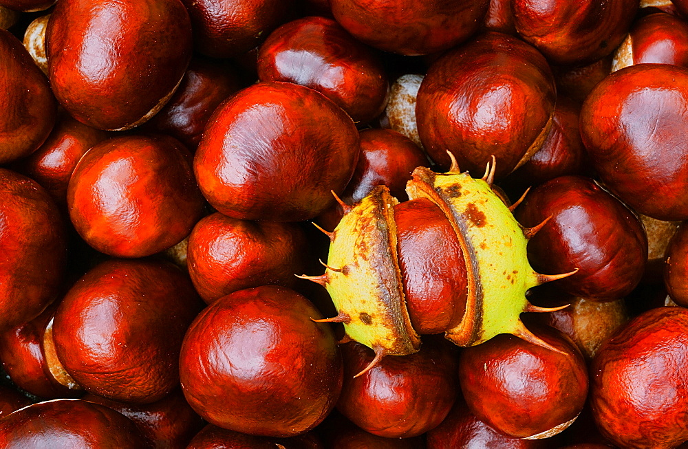 Conkers (horse chestnuts) in autumn - 911-3239