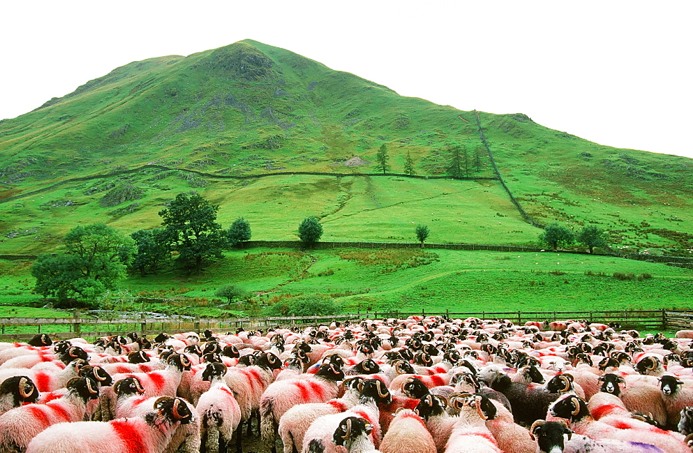 Sheep waiting to be sheared at Hartsop in the Lake District, Cumbria, England, United Kingdom, Europe