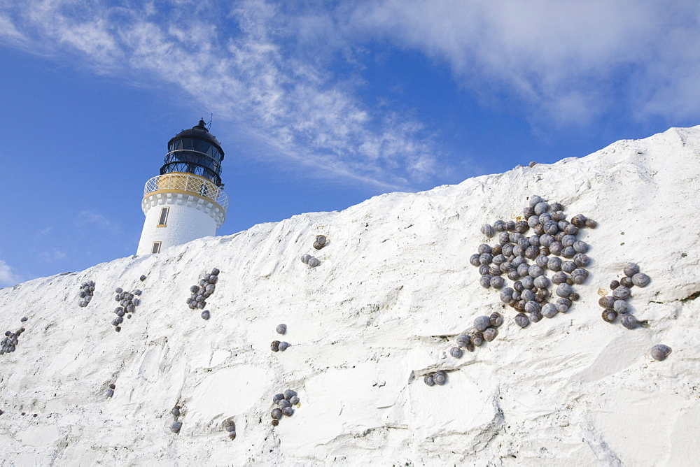 Garden snails sheltering on the perimeter wall of the Mull of Galloway lighthouse, Dumfries and Galloway, Scotland, United Kingdom, Europe