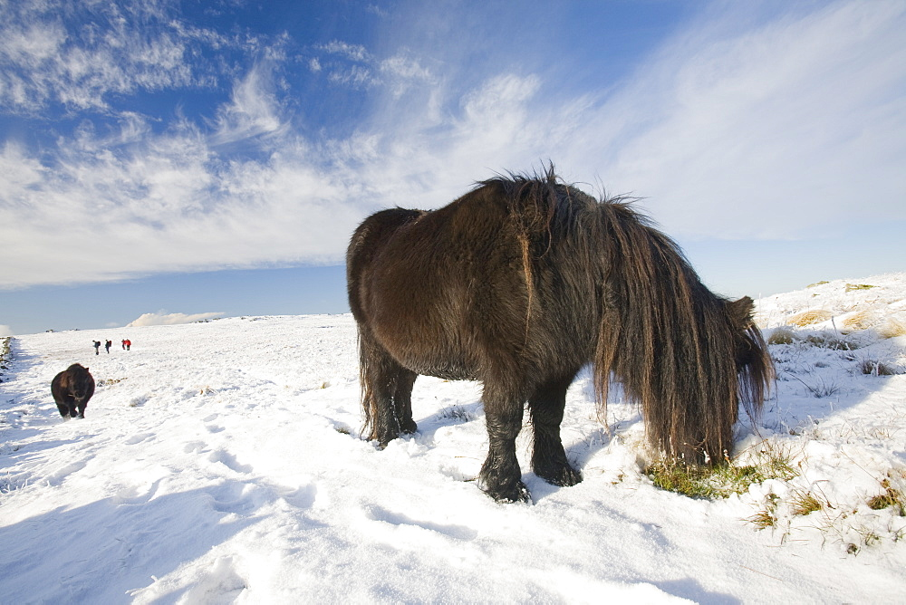 Fell ponies on Caudale Moor above Ambleside in the Lake District National Park, Cumbria, England, United Kingdom, Europe