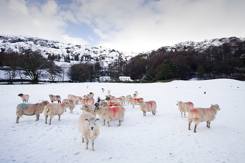 Sheep in a field in Grasmere in the Lake District National Park, Cumbria, England, United Kingdom, Europe