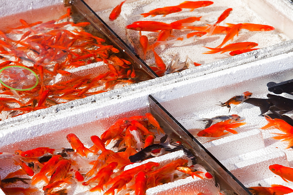 Goldfish for sale on the street in Suihua, Heilongjiang, China, Asia