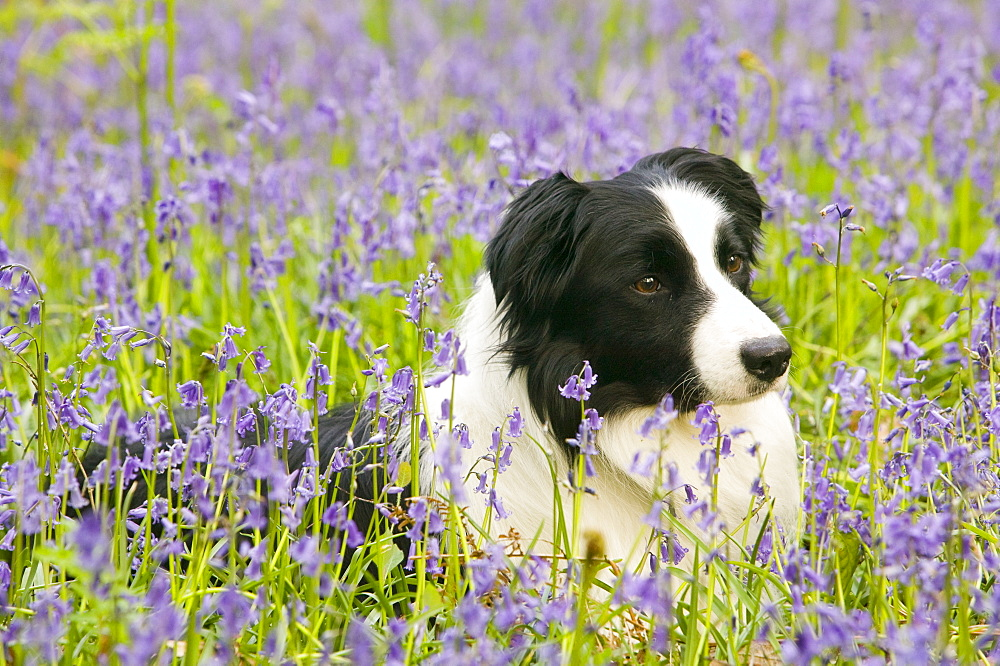 A Border Collie dog in bluebells in the Lake District, Cumbria, England, United Kingdom, Europe