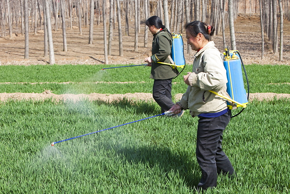 Women wearing no protection, spraying pesticide onto wheat crops near Hangang in northern China, Asia