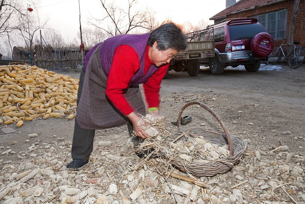A peasant farmer gathers dried corn husks to burn as fuel on the kitchen stove which not only cooks the food and heats the water but also heats the house, Heilongjiang province, China, Asia