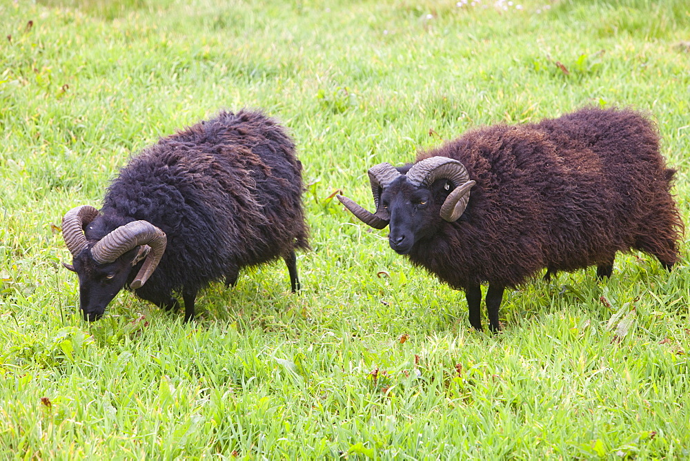 Soay sheep being used for conservation grazing on Baggy Point, near Croyde in north Devon, England, United Kingdom, Europe