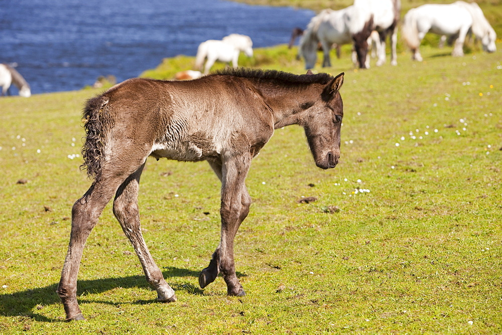 Ponies and foal on Bodmin Moor in Cornwall, England, United Kingdom, Europe