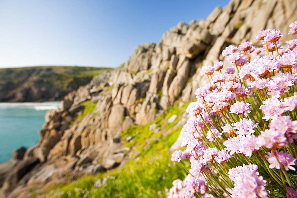 Sea pinks flowreing on Logan Rock Headland in Porthcurno, Cornwall, England, United Kingdom, Europe