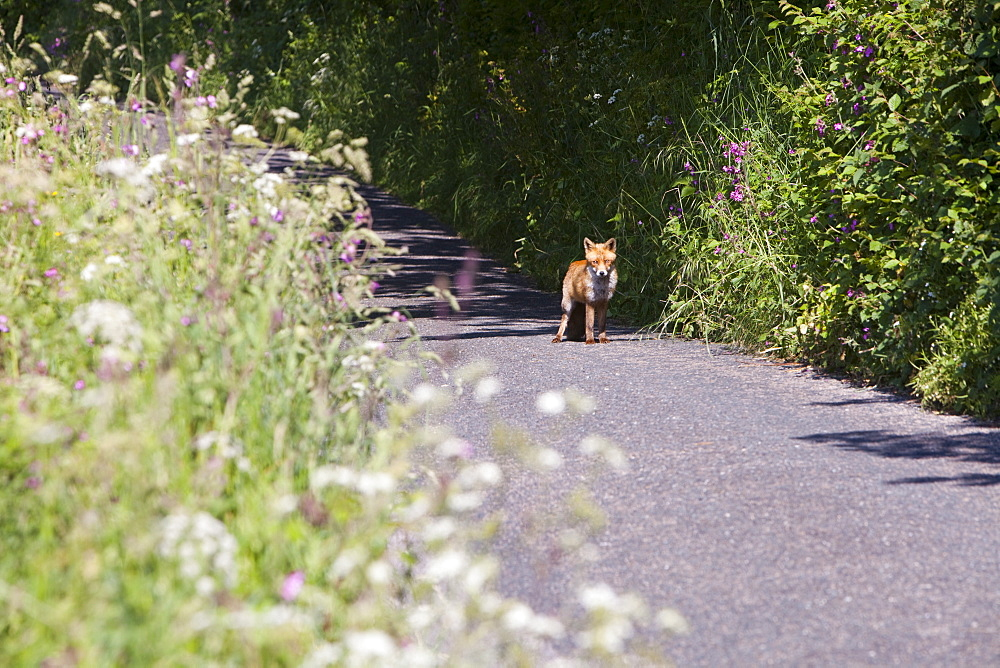 A young fox cub on a country lane near St. Just, Cornwall, England, United Kingdom, Europe