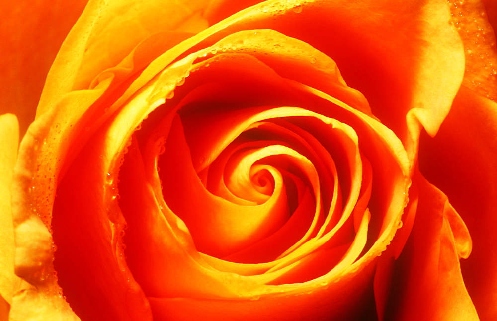 Close up of an orange rose
