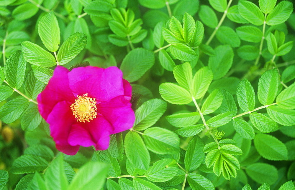 A wild rose in a hedgerow in Cumbria, England, United Kingdom