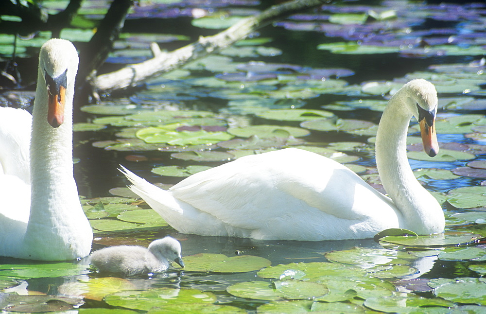 A pair of Mute Swans with a new cygnet in the Lake District Cumbria, England, United Kingdom, Europe