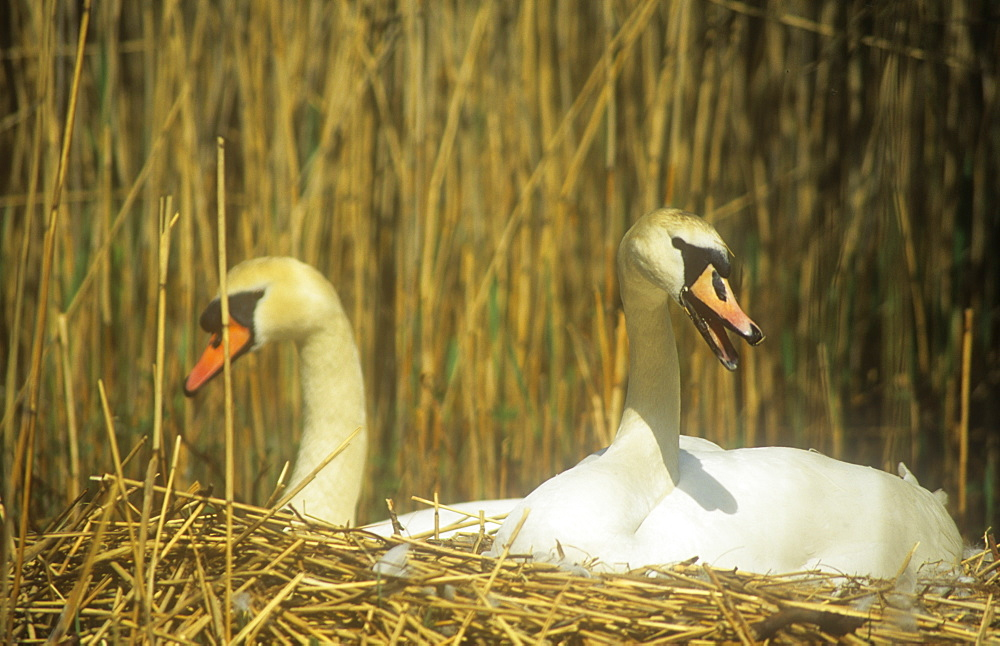 A pair of Mute Swans nesting in the Lake District, Cumbria, England, United Kingdom, Europe