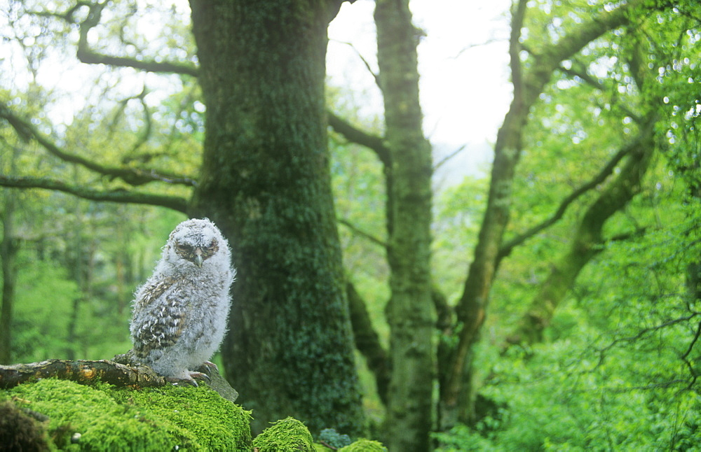 A young Tawny Owl chick out of the nest in woodland in Ambleside, Cumbria, England, United Kingdom, Europe