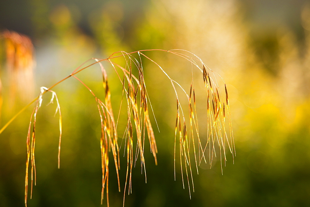 Grass seed heads in late evening light, Ambleside, Cumbria, England, United Kingdom, Europe
