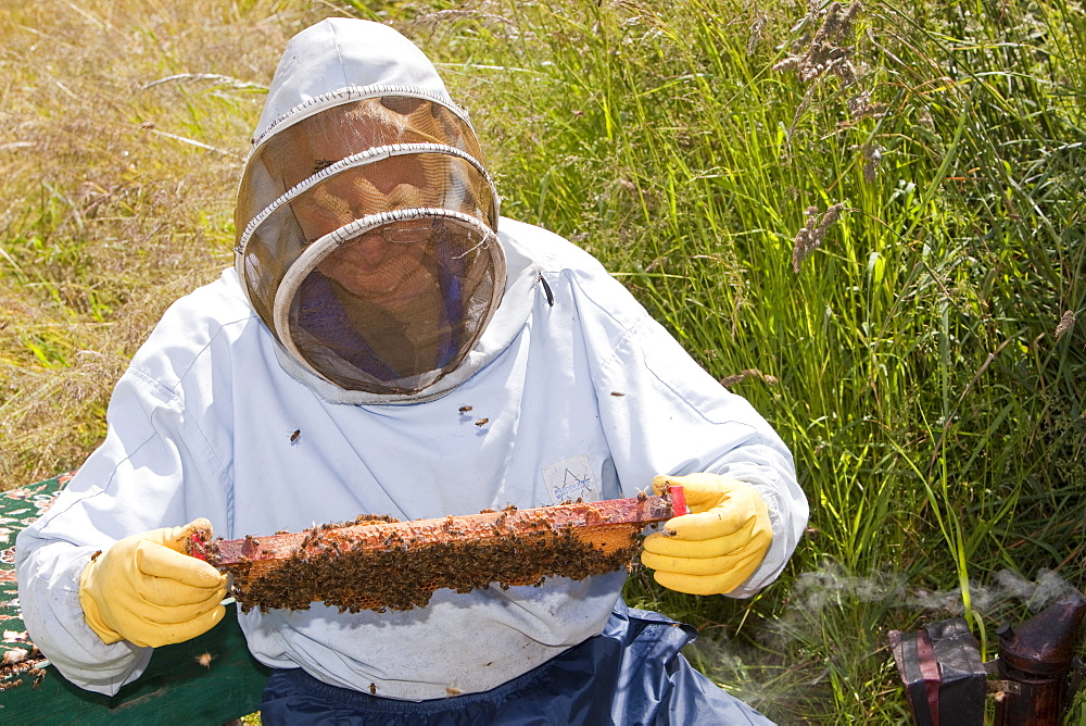 Beekeeper Bill Mackereth checks his hives for signs of Varoa mite damage, Cockermouth, Cumbria, England, United Kingdom, Europe