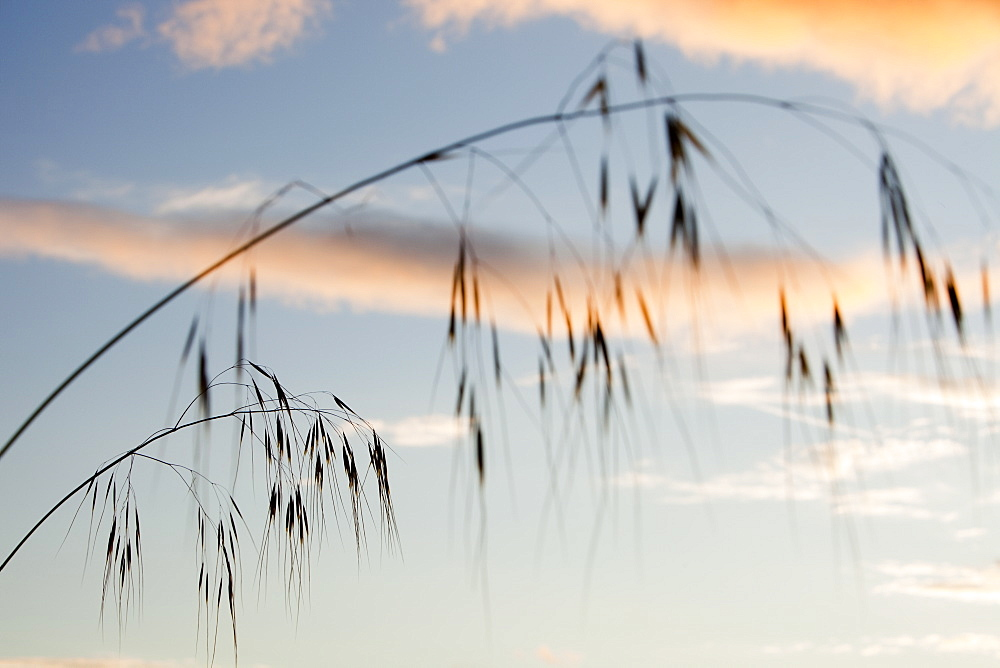 Grass seed stems with clouds at sunset over Ambleside, Cumbria, England, United Kingdom, Europe