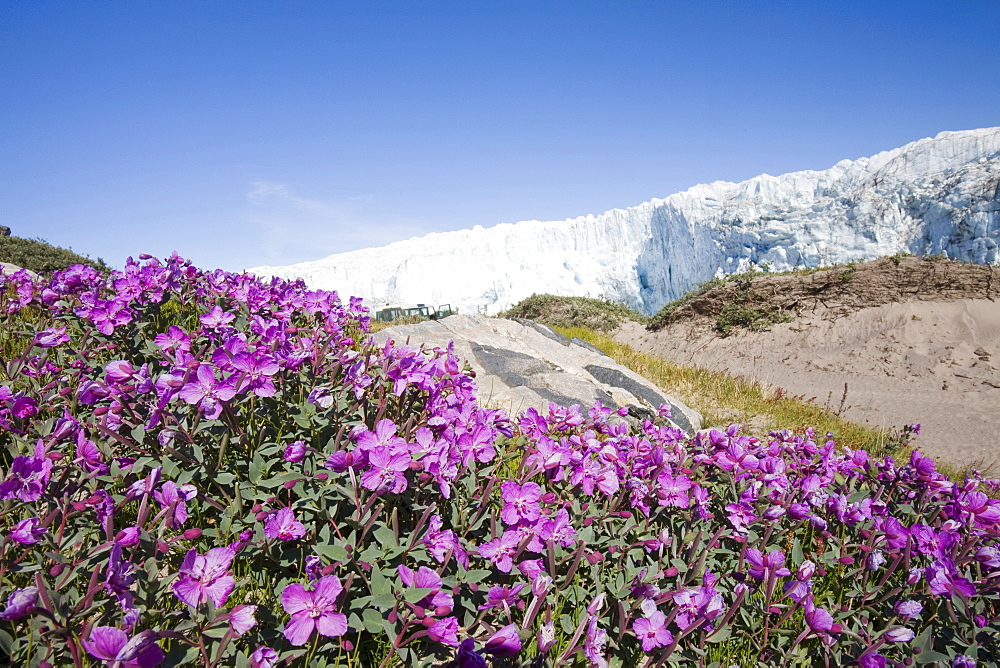 Plants flowering on the tundra in front of the Russell Glacier near Kangerlussuaq, Greenland, Polar Regions