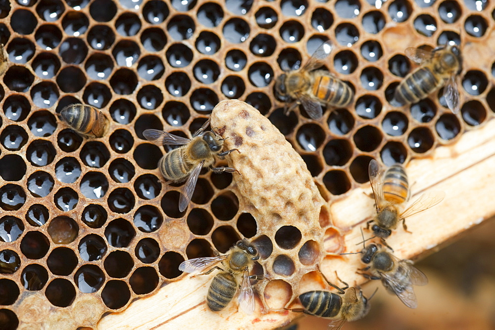 A queen cell in a beehive infected and damaged by the Varoa mite, Cockermouth, Cumbria, England, United Kingdom, Europe