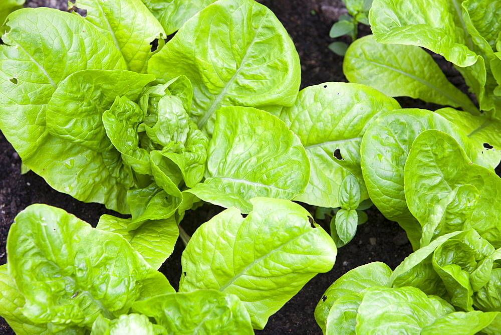 Lettuce growing in a household greenhouse, United Kingdom, Europe