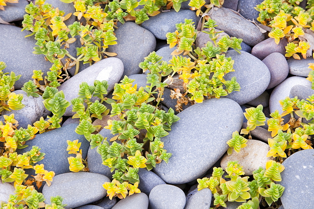 A salt tolerant plant growing across beach pebbles on Walney Island, Cumbria, England, United Kingdom, Europe