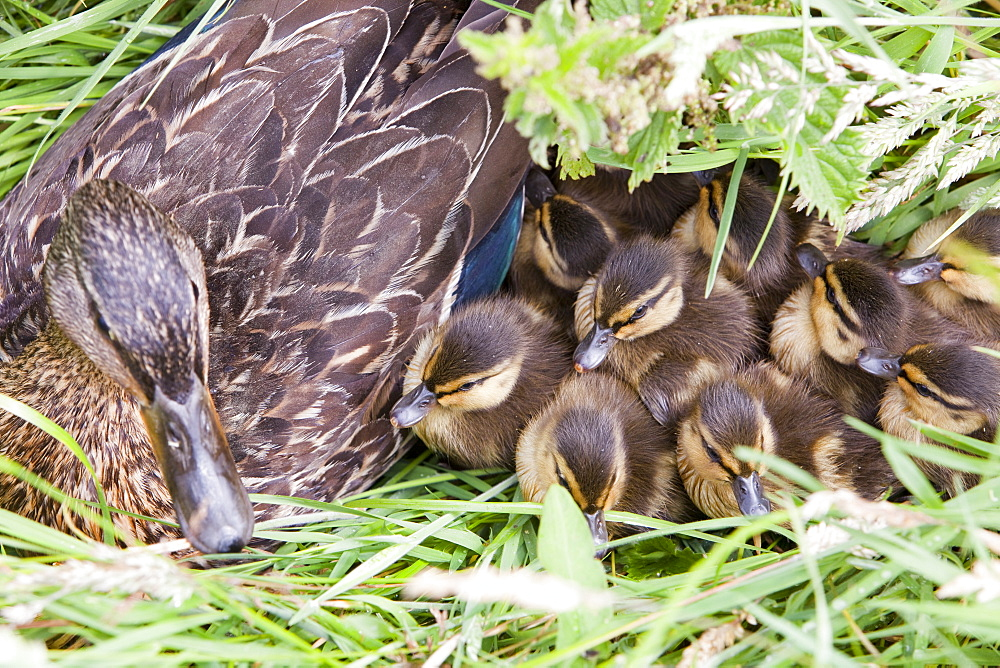 A female Mallard with her newly hatched chicks on Walney Island, Cumbria, England, United Kingdom, Europe
