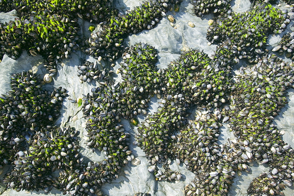 Mussels growing on the Cornish coast, England, United Kingdom, Europe