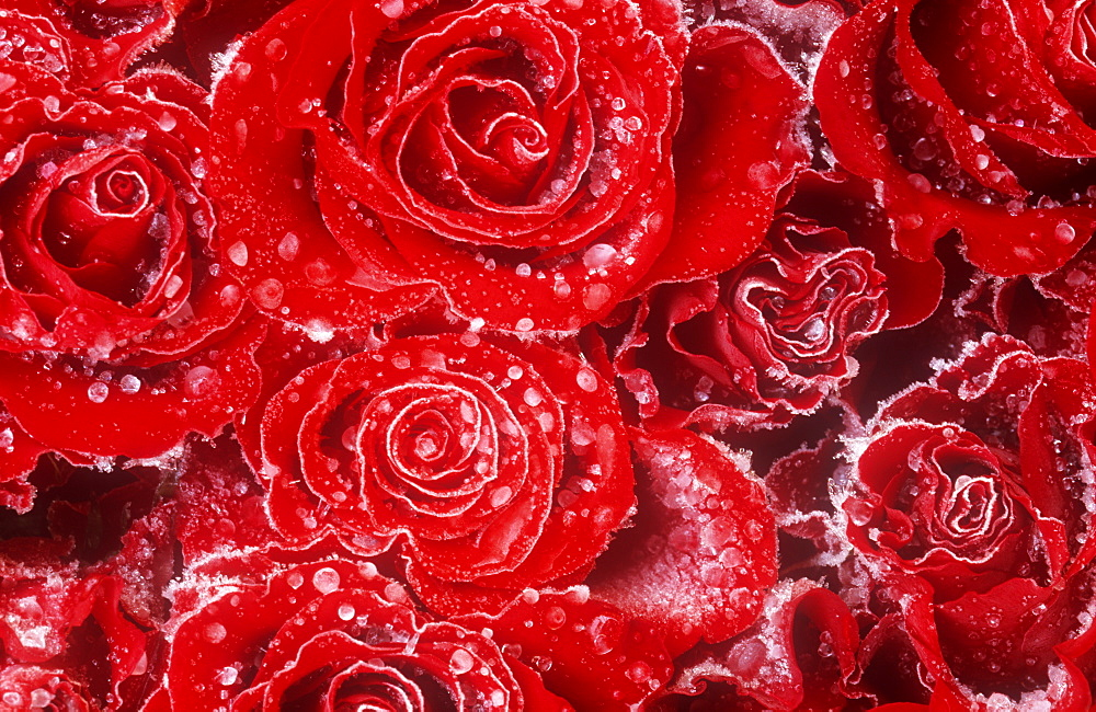 Frozen rain drops on red roses