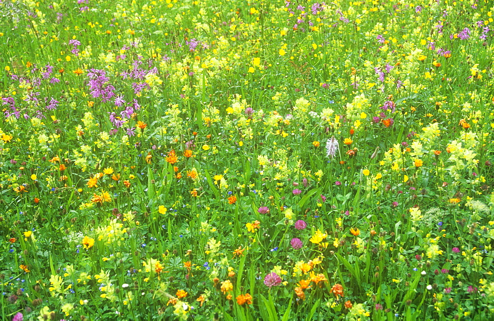A wild flower meadow in Austria, Europe
