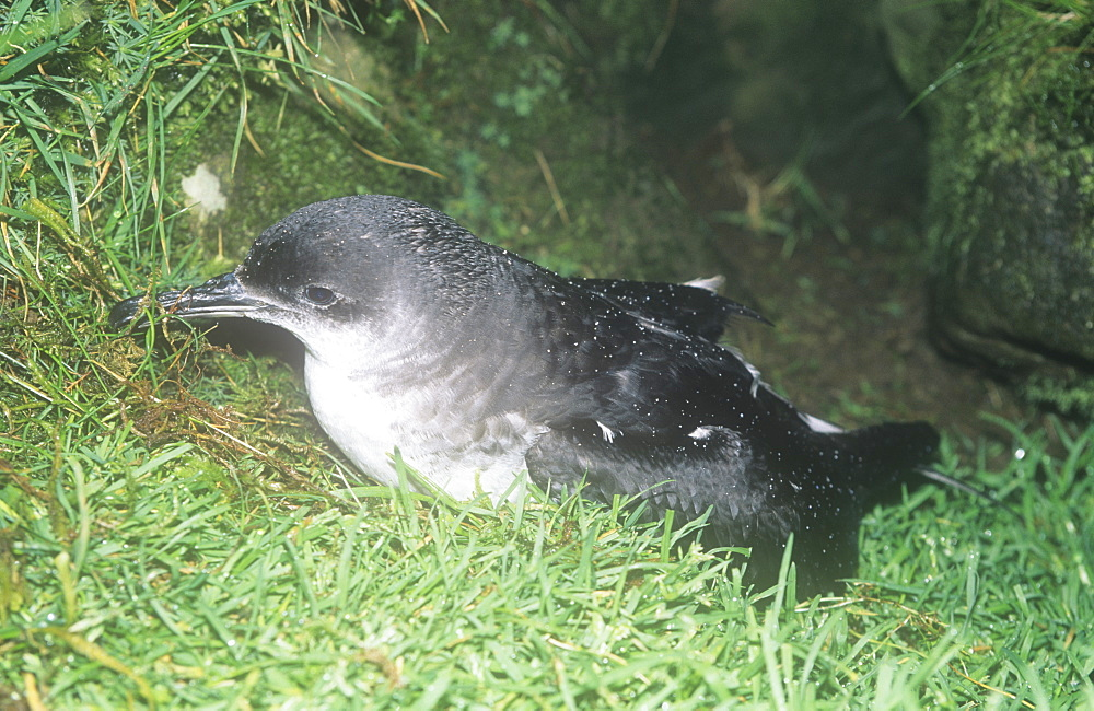 A Manx shearwater emerging from its burrow at night on the mountains of the Isle of Rhum, Scotland, United Kingdom, Europe