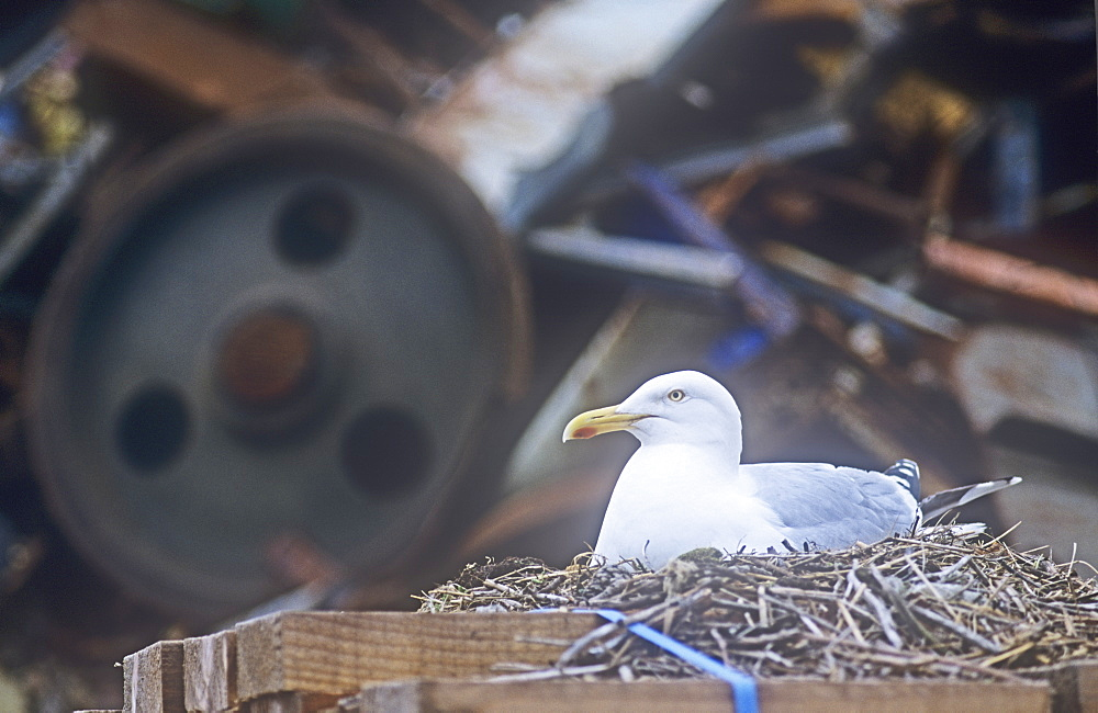A herring gull nesting at Workington port in front of a mountain of scrap metal, Cumbria, England, United Kingdom, Europe