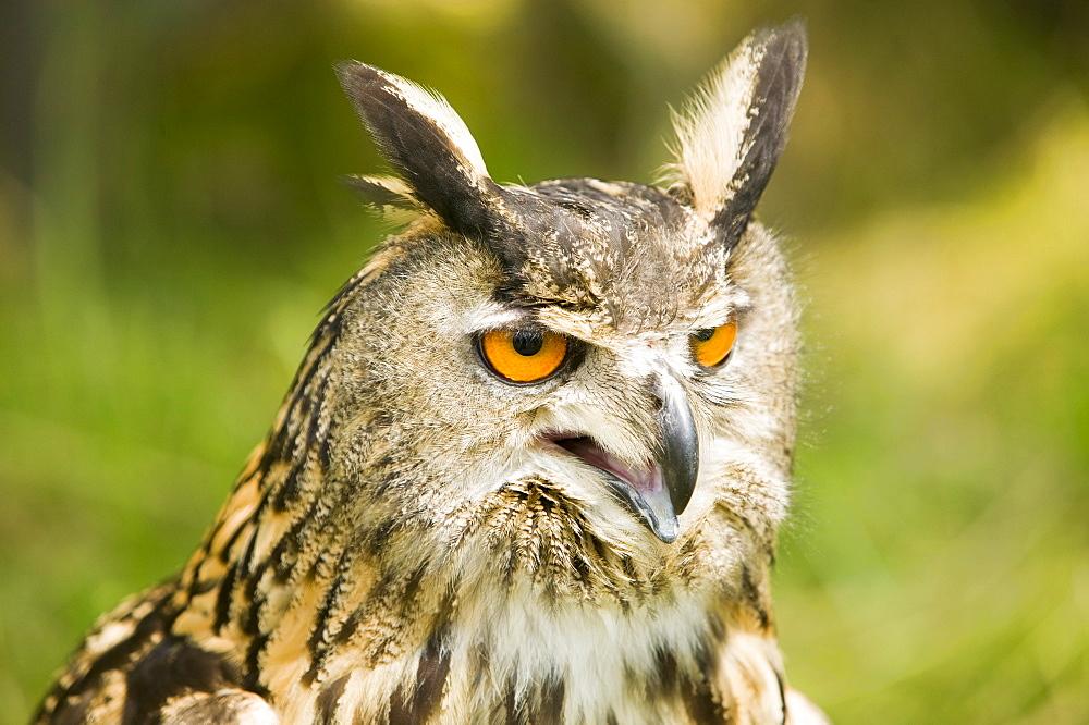 A European eagle owl, Europe