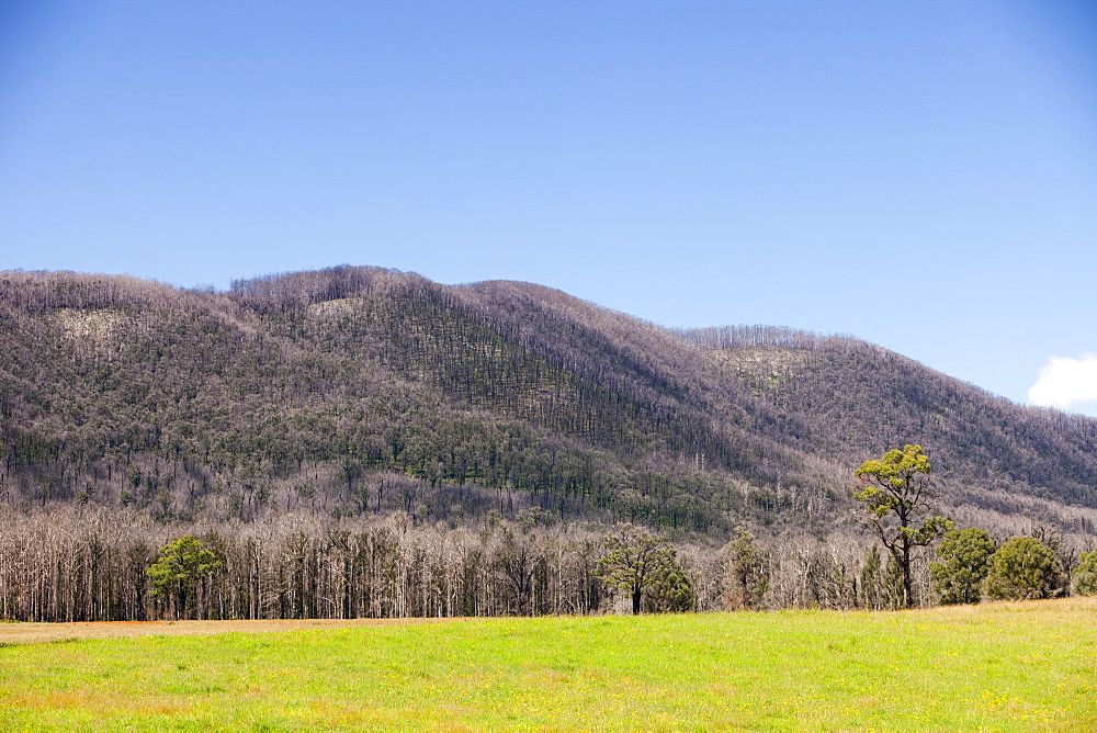 Burnt forest near Marysville, one of the worst affected communities of the catastrophic 2009 Australian Bush Fires in the state of Victoria, Australia, Pacific