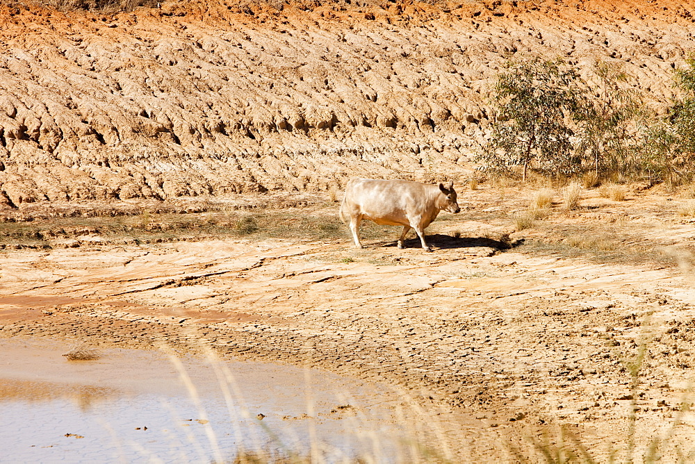 A cow drinks the last remnants of water from a watering hole on a farm near Shepperton, Victoria, Australia, Pacific - 911-5824