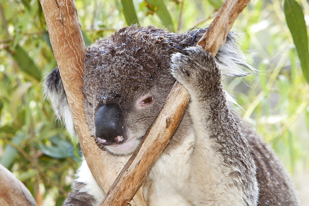 A miserable looking Koala in a wildlife park near Echuca, Victoria, Australia, Pacific