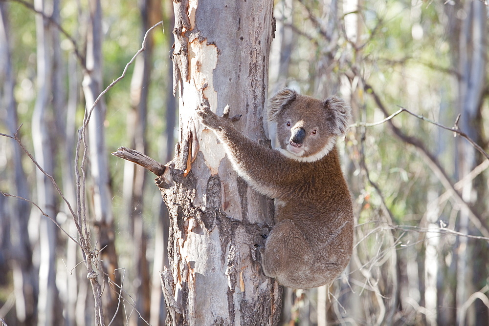 A koala bear in the Barmah Forest near Echuca, Victoria, Australia, Pacific