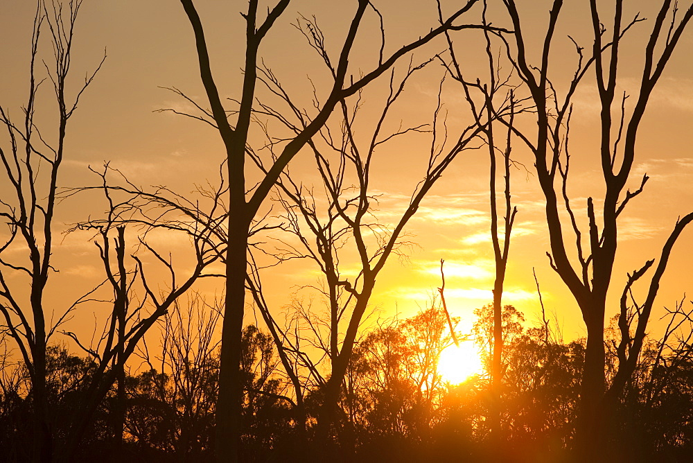 Red gum trees are iconic Australian trees that grow along the banks of the Murray River, Victoria, Australia, Pacific