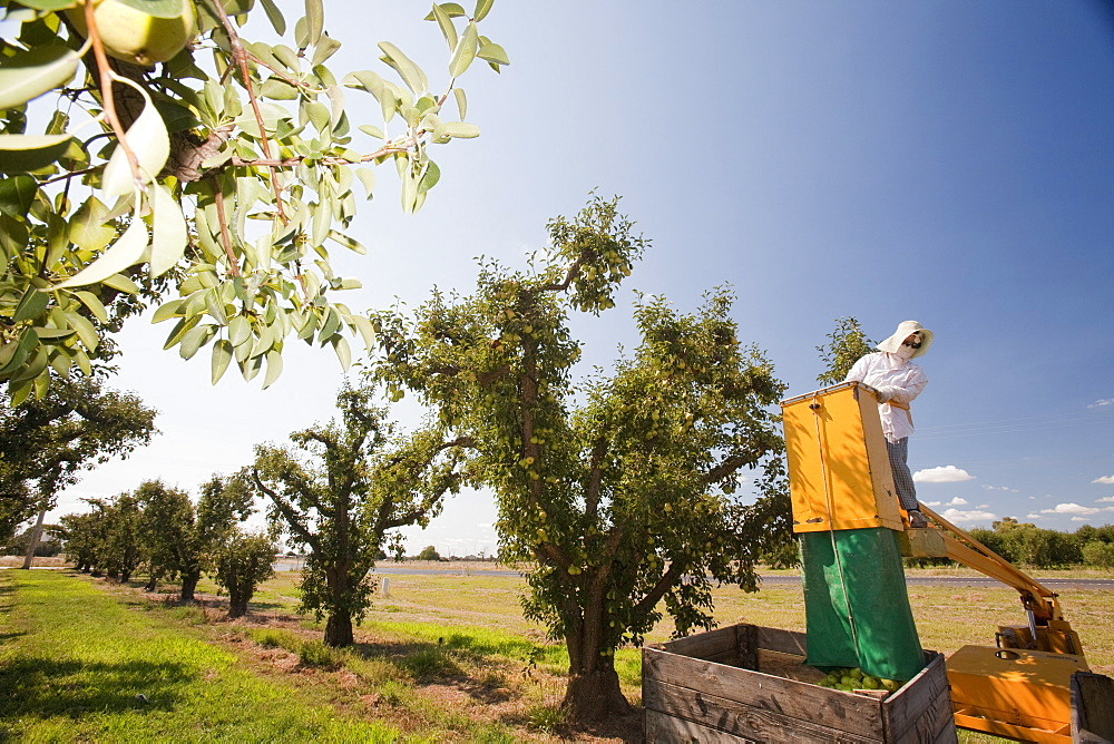 A pear orchard near Shepperton, Victoria, Australia, Pacific